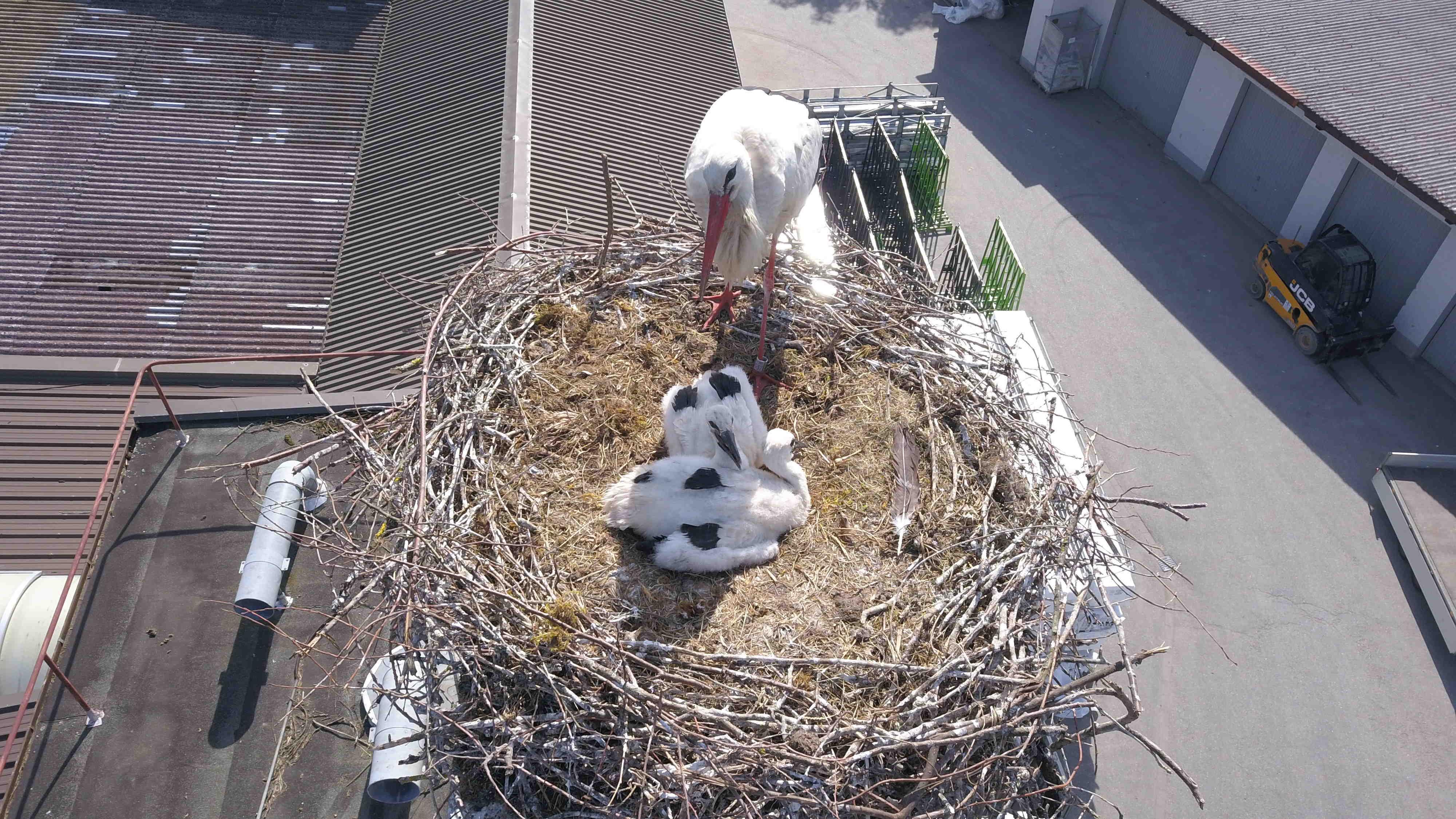 Kleine Störche im Nest