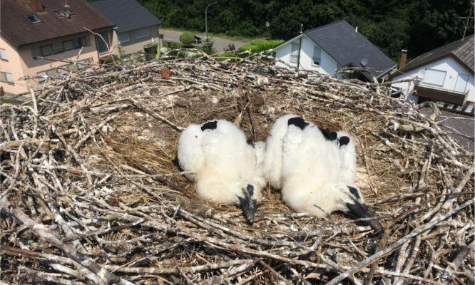 Beringung der Storchenkinder